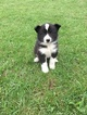 Karelian Bear Dog Puppy For Sale in COLVILLE, WA, USA