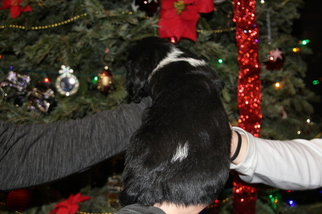 English Springer Spaniel Puppy For Sale in BULVERDE, TX