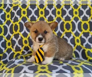 Pembroke Welsh Corgi Dog for Adoption in GAP, Pennsylvania USA