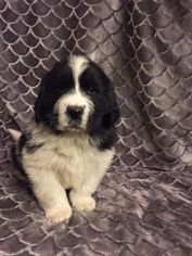 Newfoundland Puppy For Sale in OLLIE, IA