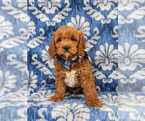 Cocker Spaniel-Poodle (Miniature) Mix Dog for Adoption in NOTTINGHAM, Pennsylvania USA