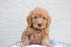 Labradoodle Puppy For Sale in ROCKLIN, CA,