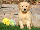 Golden Retriever Puppy For Sale in MOUNT JOY, PA,