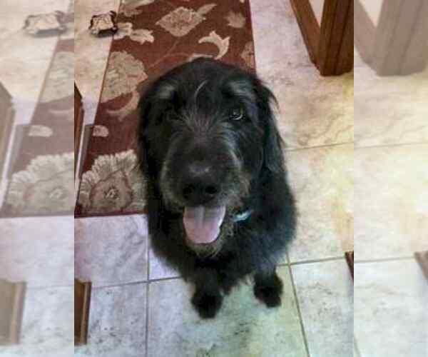 Goldendoodle-Labrador Retriever Mix dog