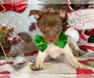 Fox Terrier (Smooth) Puppy for sale in LANCASTER, PA, USA