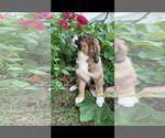 Puppy 10 Bernese Mountain Dog-Caucasian Shepherd Dog Mix