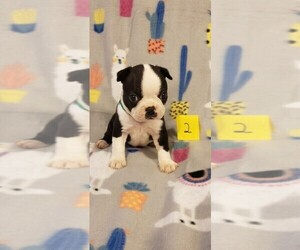 Boston Terrier Puppy for sale in CALDWELL, TX, USA