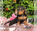 Small Photo #2 Dachshund Puppy For Sale in MIAMI, FL, USA