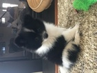 Pomeranian Puppy For Sale in HANOVER, PA