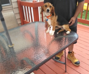 Beagle Puppy for sale in NEW BRIT, CT, USA