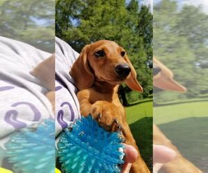 Dachshund Puppy for sale in BRADFORD, TN, USA
