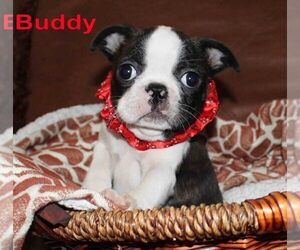 Faux Frenchbo Bulldog Puppy for Sale in PROSPECT, Kentucky USA