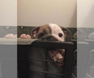 Bulldog Puppy for sale in LADY LAKE, FL, USA