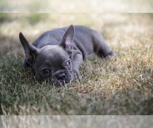 French Bulldog Puppy for Sale in ERIAL, New Jersey USA