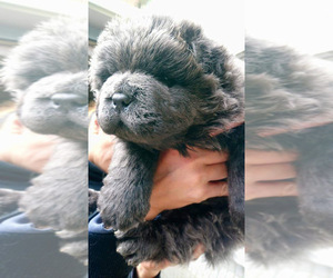 Chow Chow Puppy for sale in JERSEY CITY, NJ, USA