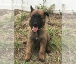 Small Photo #5 Belgian Malinois Puppy For Sale in WAYCROSS, GA, USA