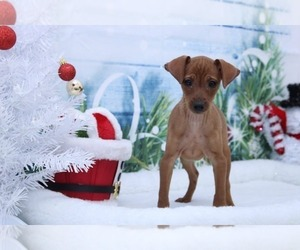 Miniature Pinscher Puppy for sale in MARIETTA, GA, USA