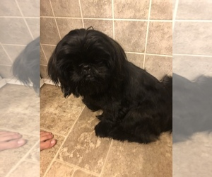 Mother of the Shih Tzu puppies born on 09/09/2020
