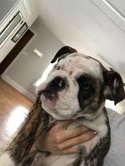 Olde English Bulldogge Puppy For Sale in COLORADO SPRINGS, CO