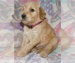 Goldendoodle Puppy For Sale near 98631, Long Beach, WA, USA