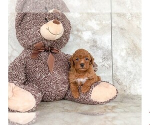 Poodle (Miniature) Puppy for sale in CLEVELAND, NC, USA