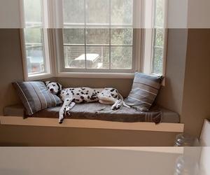 Dalmatian Puppy for sale in NAPA, CA, USA