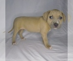 Puppy 8 American Pit Bull Terrier-American Staffordshire Terrier Mix