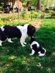 Newfoundland Puppy For Sale in JACKSON, MO, USA