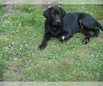 Small #56 Labrador Retriever