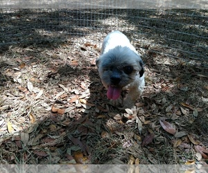 Shih Tzu Dog for Adoption in DOUGLAS, Georgia USA