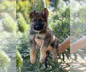 German Shepherd Dog Puppy for Sale in OJAI, California USA