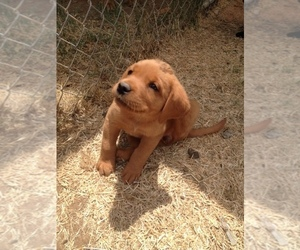 Labrador Retriever Puppy for Sale in LINCOLN, California USA