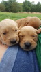 Golden Retriever Puppy For Sale in STAUNTON, VA