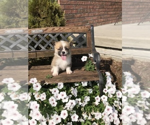 Pembroke Welsh Corgi Puppy for Sale in FARLEN, Indiana USA