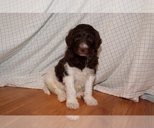 Labradoodle Puppy for Sale in GALION, Ohio USA