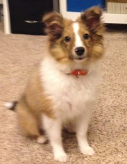Shetland Sheepdog Puppy For Sale in EVANS MILLS, NY