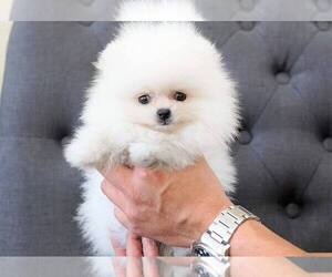 Pomeranian Puppy for sale in FULLERTON, CA, USA
