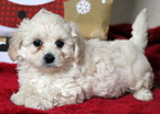 Maltipoo Puppy For Sale in MOUNT JOY, PA, USA