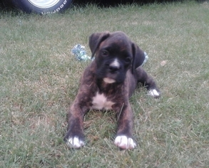 Boxer Puppy for sale in KLAMATH FALLS, OR, USA