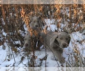 Weimaraner Puppy for Sale in HEMLOCK, Michigan USA