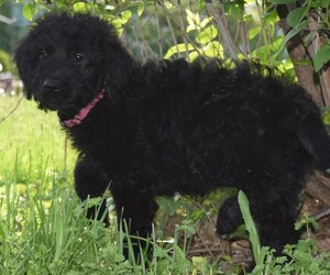Goldendoodle Puppy for Sale in OMAHA, Nebraska USA