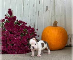 English Bulldog Puppy for Sale in NAPPANEE, Indiana USA