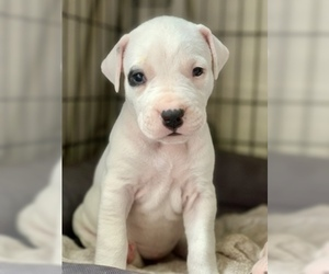 Dogo Argentino Puppy for sale in AUSTIN, TX, USA