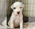 Champion Bloodline Purebred Dogo Argentino Puppies