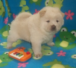 Chow Chow Puppy For Sale in BUHLER, KS