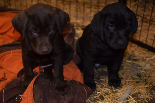 View Ad: Labrador Retriever Puppy for Sale In Greece