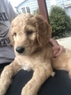 Goldendoodle Puppy For Sale in BETHLEHEM, OH, USA