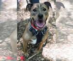 Small #293 American Pit Bull Terrier-Labrador Retriever Mix