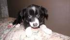 Border Collie Puppy For Sale in AIKEN, South Carolina,