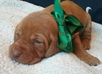 Vizsla Puppy For Sale in DUNLAP, IA, USA